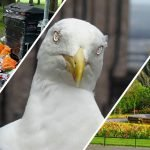 Edinburgh Council's secret seagull mind control plan leaked